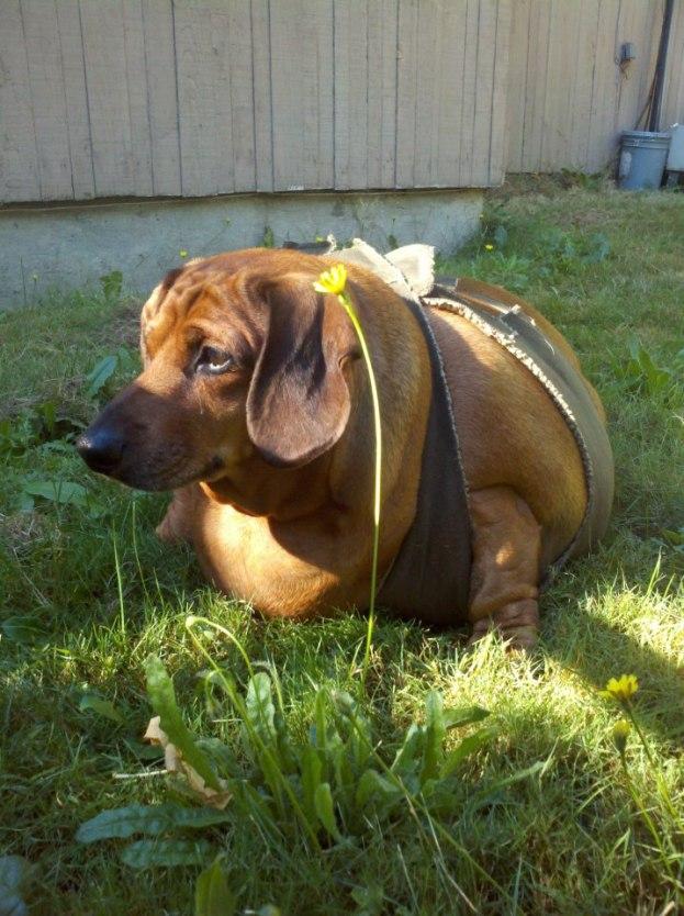 Najgrubszy pies świata waży 35 kilogramów!