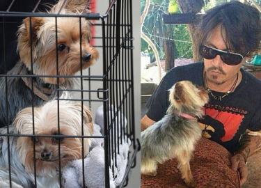 Depp pójdzie do więzienia za... przywiezienie psów do Australii?!