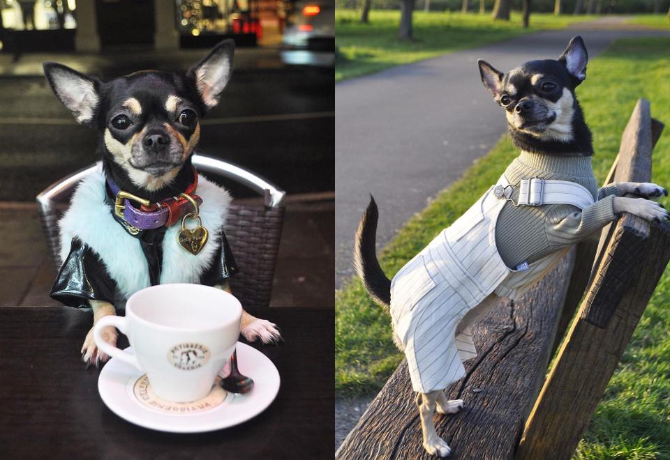 """Dolly Pawton - chihuahua, która robi """"karierę"""" na Instagramie"""